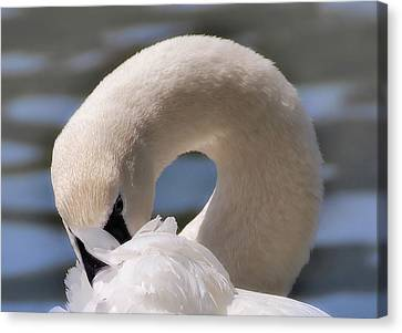 Canvas Print featuring the photograph Shy Swan by Elaine Manley