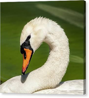 Shy Swan Canvas Print by Norman Johnson