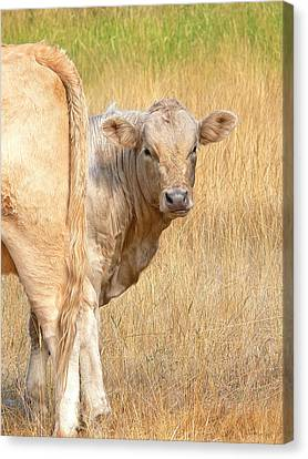 Shy White Calf Canvas Print by Jennie Marie Schell