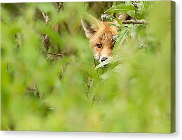 Fox Kit Canvas Print - Shyfox by Roeselien Raimond