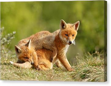 Kit Fox Canvas Print - Sibbling Love - Playing Fox Cubs by Roeselien Raimond