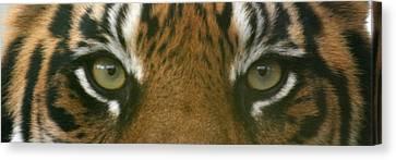 Siberian Eyes - Tiger Canvas Print by David Dunham