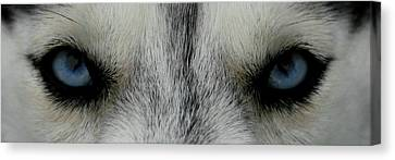 Siberian Eyes Canvas Print by David Dunham