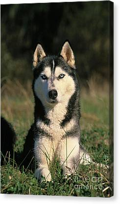 Siberian Husky Canvas Print by Gerard Lacz