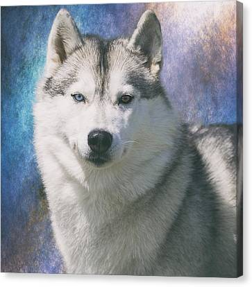 Working Dog Canvas Print - Siberian Husky Portrait by Wolf Shadow  Photography