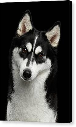 Siberian Husky Canvas Print by Sergey Taran