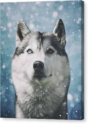 Siberian Husky With Snowflakes Canvas Print by Wolf Shadow  Photography