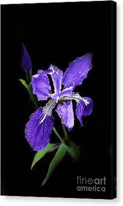 Siberian Iris Canvas Print by Marilyn Carlyle Greiner