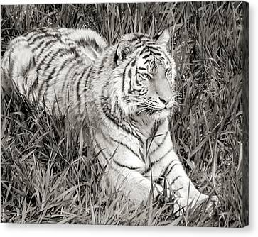 Siberian Tiger In Grass Canvas Print by Jim Hughes