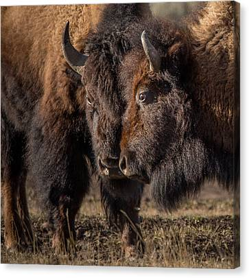 Siblings // Lamar Valley, Yellowstone National Park Canvas Print by Nicholas Parker