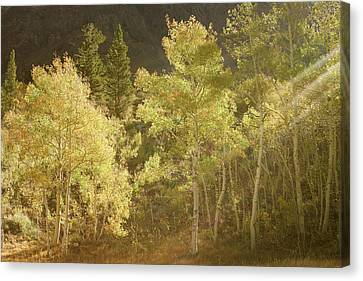 Canvas Print featuring the photograph Side-lit Aspens - Autumn In Eastern Sierra California by Ram Vasudev