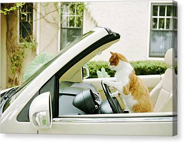 Side View Of Cat Driving Car Canvas Print