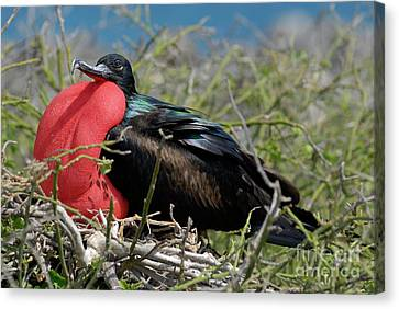 Side View Of Great Frigate Bird In Shrub Canvas Print by Sami Sarkis