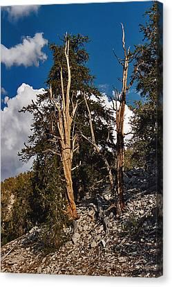 Sierra Cedar Canvas Print by Larry Darnell