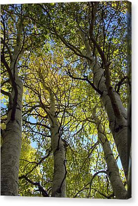 Sierra Nevada Aspen Fall Color Canvas Print by Scott McGuire