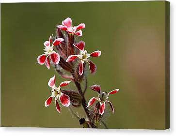 Canvas Print featuring the photograph Silene by Richard Patmore