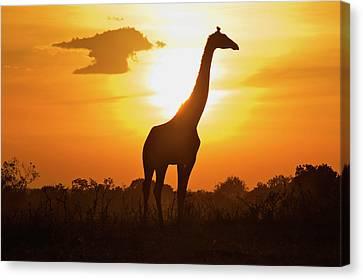 Silhouette Giraffe At Sunset Canvas Print by Joost Notten