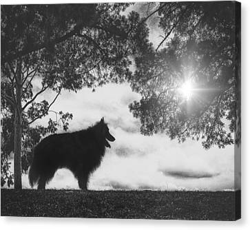 Working Dog Canvas Print - Silhouette Of A Belgian Sheepdog by Wolf Shadow  Photography