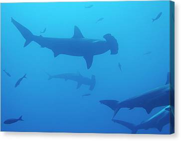 Silhouette Of Scalloped Hammerhead Sharks Canvas Print by Sami Sarkis