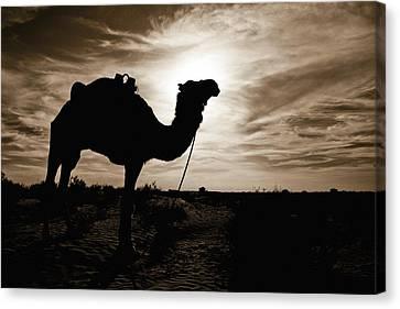 Silhouetted Camel, Sahara Desert, Douz Canvas Print by David DuChemin