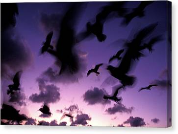 silhouettes of airborne seagulls at Twilight,  1996 Canvas Print