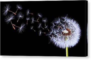 Silhouettes Of Dandelions Canvas Print by Bess Hamiti