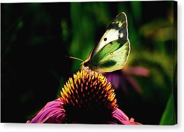 Glassy Wing Canvas Print - Silky Wings by Lyle  Huisken