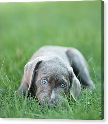 Silver Lab Puppy Canvas Print