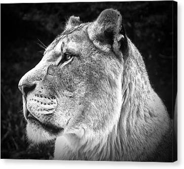 Canvas Print featuring the photograph Silver Lioness  by Chris Boulton
