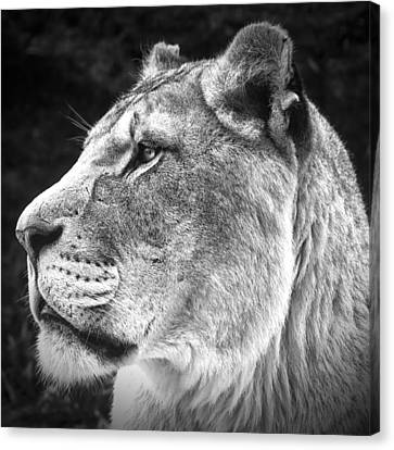 Canvas Print featuring the photograph Silver Lioness - Squareformat by Chris Boulton