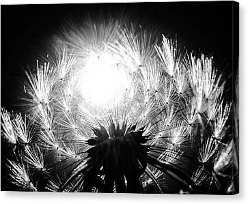 Silvered Dandelion Canvas Print