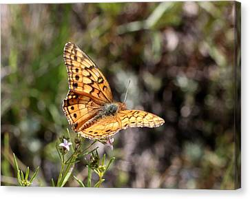 Silvery Checkerspot Butterfly On Wildflower 2 Canvas Print by Sheila Brown