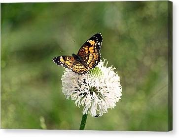 Silvery Checkerspot Butterfly On Wildflower Canvas Print by Sheila Brown