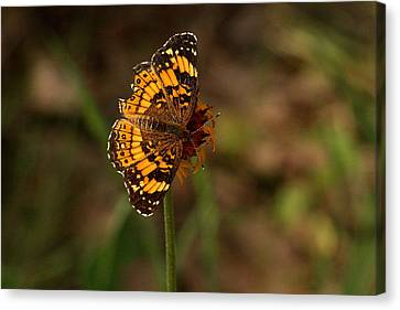 Silvery Checkerspot Butterfly Canvas Print by Sheila Brown