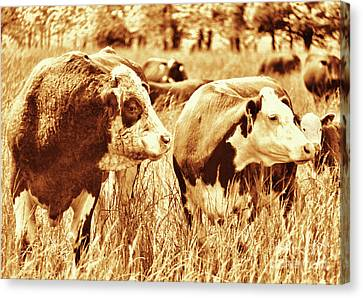 Canvas Print featuring the photograph Simmental Bull 3 by Larry Campbell