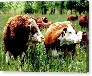Canvas Print featuring the photograph Simmental Bull And Hereford Cow by Larry Campbell