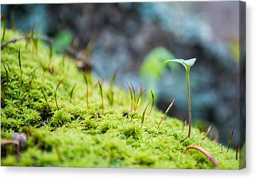 Simple Sprout Canvas Print by Rhys Arithson