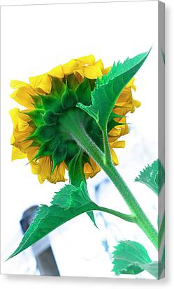 Simple Sunflower Canvas Print