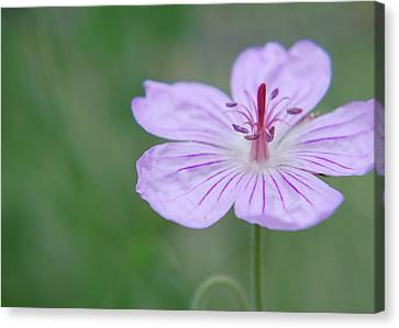 Canvas Print featuring the photograph Simplicity Of A Flower by Amee Cave