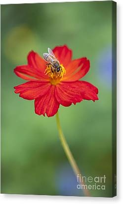 Simply Bee Canvas Print by Tim Gainey
