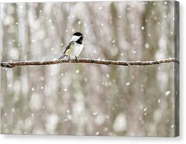Sing Chickadee Sing Canvas Print by Angie Rea