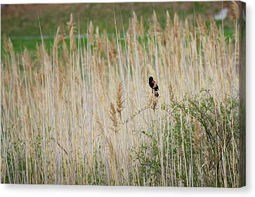 Canvas Print featuring the photograph Sing For Spring by Bill Wakeley