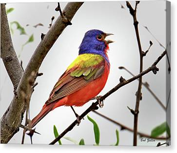 Singing Painted Bunting Canvas Print