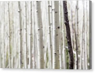 Flagstaff Canvas Print - Single Black Birch Tree Trunk by Susan Schmitz