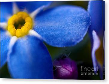 Single Blue Wood-forget-me-not Canvas Print by Ryan Kelly