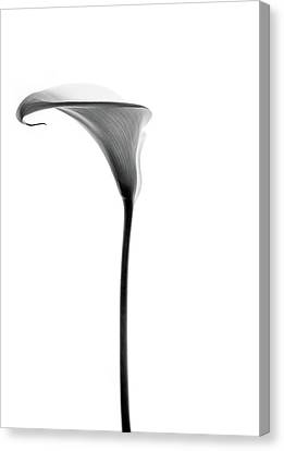 Single Cala Tall Black And Whte Canvas Print by Rebecca Cozart