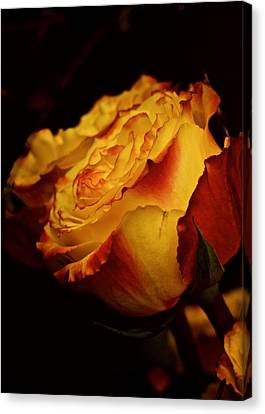 Single March Vintage Rose Canvas Print by Richard Cummings