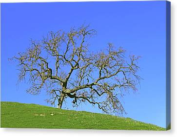 Canvas Print featuring the photograph Single Oak Tree by Art Block Collections