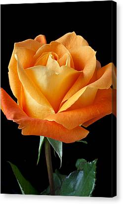 Single Orange Rose Canvas Print