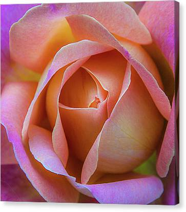 Canvas Print featuring the photograph Single Peach Pink Rose by Julie Palencia
